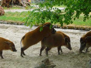 Sex Wildschwein