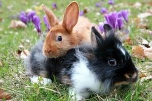 Kaninchen © Carlo Süßmilch - Fotolia.com