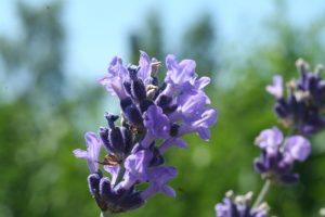 Lavendel © Dorothea Hamm