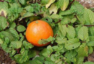 Minze und Apfelsine