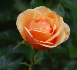 rose ausschnitt