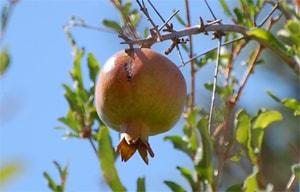 Granatapfelsaft und Granatapfelsamen Heilmittel für Frauen