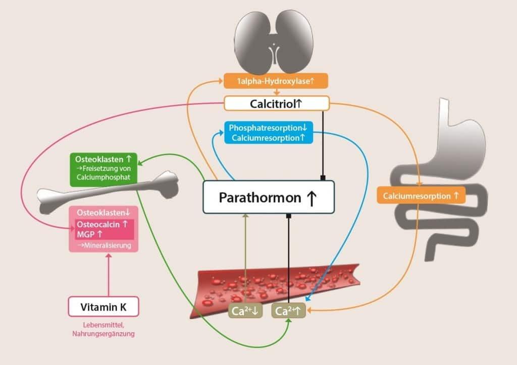 Regulation des Calcium-Stoffwechsels