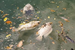 Wasserverschmutzung und toter Fisch © kodamatobi fotolia.com