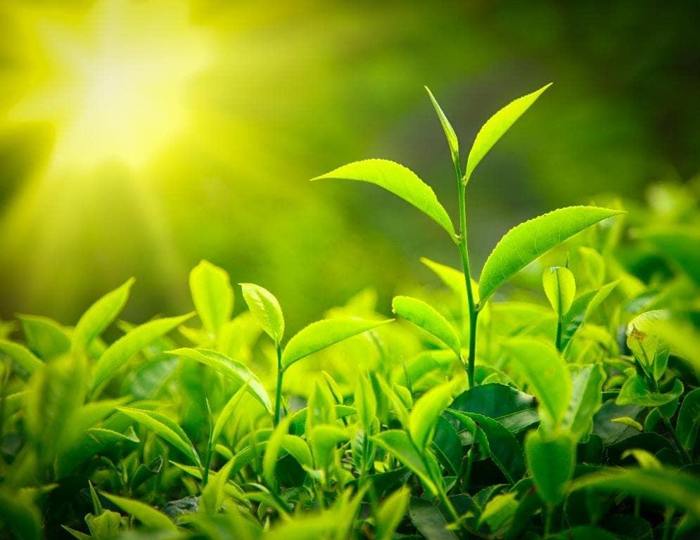 Mit Grünteeextrakt das Wachstum von Myomen kontrollieren